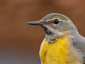 Yellow wagtail, (Motacilla flava), female, UK  -  Andy Rouse