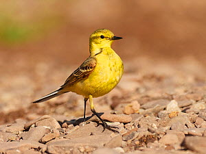 Yellow wagtail, (Motacilla flava), male hunting , UK  -  Andy Rouse