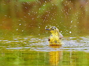 RF - Yellow wagtail, (Motacilla flava), female bathing, UK (This image may be licensed either as rights managed or royalty free.)  -  Andy Rouse