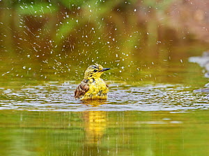 Yellow wagtail, (Motacilla flava), female bathing, UK  -  Andy Rouse