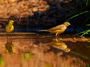 Yellow wagtail, (Motacilla flava), male and female, UK  -  Andy Rouse