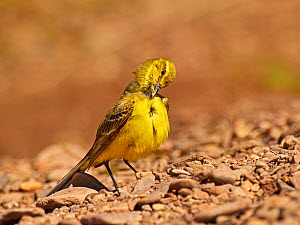 Yellow wagtail, (Motacilla flava), male preening, UK  -  Andy Rouse