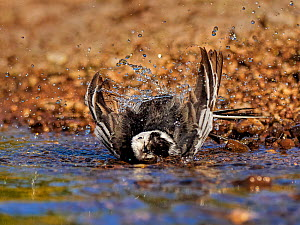 Pied wagtail, (Motacilla alba), male bathing, UK  -  Andy Rouse