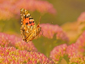 Painted lady butterfly (Vanessa cardui) flying over sedum (Hylotelephium) in a garden. Wales, UK. August.  -  Andy Rouse
