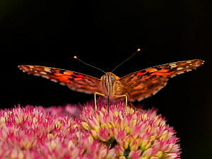 Painted lady butterfly (Vanessa cardui) feeding on sedum (Hylotelephium) in a garden. Wales, UK. August.  -  Andy Rouse