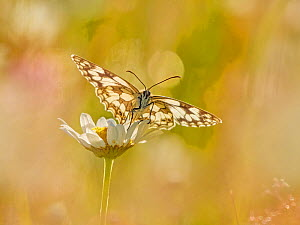 RF - Marbled White (Melanargia galathea) in meadow UK. (This image can be sold as Rights managed or Royalty free).  -  Andy Rouse