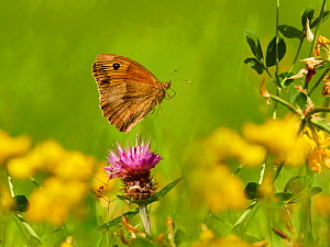 Meadow Brown butterfly (Maniola jurtina) flying Wales, UK. July.  -  Andy Rouse