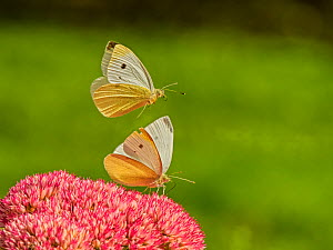 Small white butterfly (Pieris napi) two fighting Wales, UK. September.  -  Andy Rouse