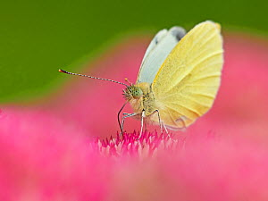 RF - Small white butterfly (Pieris napi) feeding on sedum Wales, UK. September. (This image can be sold as Rights managed or Royalty free).  -  Andy Rouse