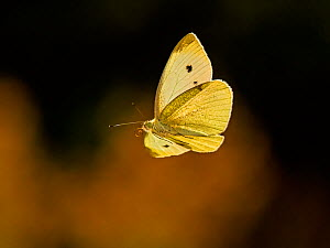 Small white butterfly (Pieris napi) flying from sedum Wales, UK. September.  -  Andy Rouse