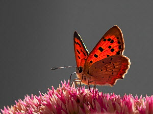 Small Copper butterfly (Lycaena phlaeas) feeding on sedum Wales, UK. September.  -  Andy Rouse