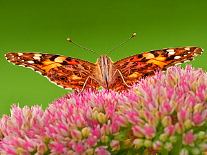 Painted lady butterfly (Vanessa cardui) feeding on sedum (Hylotelephium) in a garden. Wales, UK. Summer.  -  Andy Rouse