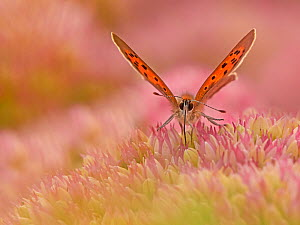RF - Small Copper butterfly (Lycaena phlaeas) feeding on sedum, Wales, UK. September. (This image can be sold as Rights managed or Royalty free).  -  Andy Rouse