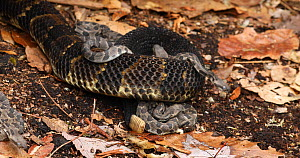 Timber rattlesnake (Crotalus horridus) unravelling, moving out of frame, leaving young behind at nest site, Pennsylvania, USA.  -  John Cancalosi