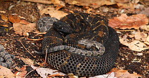Young, Timber rattlesnake (Crotalus horridus) moving over coiled adult, Pennsylvania, USA.  -  John Cancalosi