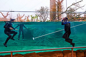 Zookeepers cleaning the hippo tank, Beauval Zoo, Saint-Aignan, France.  -  Eric Baccega