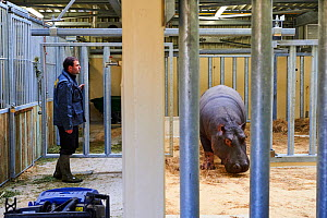 Hippopotamus (Hippopotamus amphibius) and his keeper in an indoor enclosure. Beauval Zoo, Saint-Aignan, France.  -  Eric Baccega