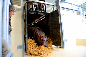 Hippopotamus (Hippopotamus amphibius) walking out of its transport crate to go to its indoor pool, observed by zookeepers, Beauval Zoo, Saint-Aignan, France.  -  Eric Baccega