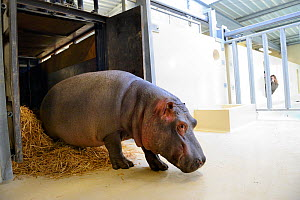 Hippopotamus (Hippopotamus amphibius) walking out of its transport crate to go to its indoor pool. Beauval Zoo, Saint-Aignan, France.  -  Eric Baccega