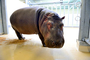 Hippopotamus (Hippopotamus amphibius) newly arrived at the zoo, Beauval Zoo, Saint-Aignan, France.  -  Eric Baccega