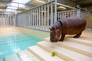 Hippopotamus (Hippopotamus amphibius) walking down steps to an indoor pool after its arrival at the zoo, observed by zookeepers, before it enters the new hippo enclosure, Beauval Zoo, Saint-Aignan, Fr...  -  Eric Baccega