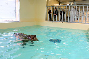 Hippopotamus (Hippopotamus amphibius) swimming in an indoor pool after its arrival at the zoo, observed by zookeepers, before it enters the new hippo enclosure, Beauval Zoo, Saint-Aignan, France.  -  Eric Baccega