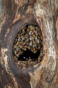 Honey bee (Apis mellifera) colony closing nest entrance to their hive inside an old black woodpecker nest cavity as viewed from outside, Germany.  -  Ingo Arndt