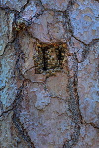 Entrance of a tree bee hive, cut into living pine for tree bee keeping. Tree hive beekeeping is a traditional practice dating back 1000 years, Poland.  -  Ingo Arndt