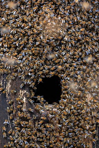 Honey bee (Apis mellifera) colony beginning to establish a hive inside an old black woodpecker nest cavity as viewed from outside, Germany  -  Ingo Arndt