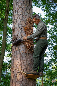 Tree beekeeper Andrzej Pazura checking his tree bee hive, cut into living pine. Tree hive beekeeping is a traditional practice dating back 1000 years, Poland.  -  Ingo Arndt