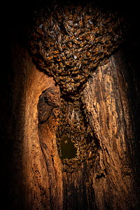 Honey bee (Apis mellifera) colony building a beehive inside an old black woodpecker nest cavity, forming a 'ball' at the top, Germany.  -  Ingo Arndt