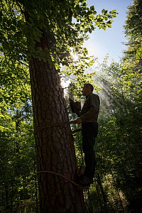 Tree beekeeper Andrzej Pazura checking his tree bee hive of Honey bees (Apis mellifera), cut into living pine. Tree hive beekeeping is a traditional practice that goes back 1000 years, Poland.  -  Ingo Arndt