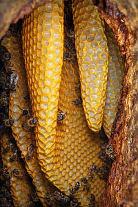 Honey bee (Apis mellifera) nest within an old black woodpecker nest cavity with honeycombs visible through front entrance, Germany.  -  Ingo Arndt