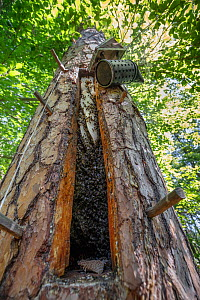 Tree Beekeeping of Honey bees (Apis mellifera) cut into living pine, opened. Tree hive beekeeping is a traditional practice that goes back 1000 years, Poland.  -  Ingo Arndt