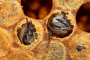 Honey bees (Apis mellifera) hatching out of brood cells, Germany  -  Ingo Arndt