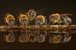 Honey bees (Apis mellifera), drinking water on hot summer day, Germany  -  Ingo Arndt