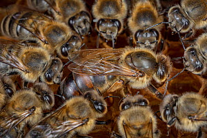 Honey bee (Apis mellifera), queen surrounded by her court, laying eggs on the broodcomb, Germany.  -  Ingo Arndt
