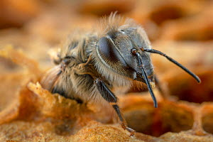 Honey bee (Apis mellifera) hatching out of brood cell, Germany.  -  Ingo Arndt