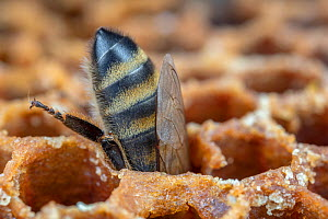 Honey bee (Apis mellifera) stealing honey from an opened cell after its colony attacked another. Germany.  -  Ingo Arndt