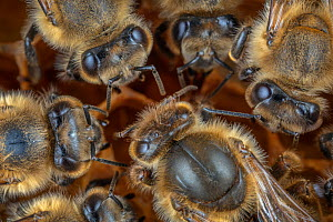 Honey bee (Apis mellifera), queen surrounded by her court on the broodcomb, Germany  -  Ingo Arndt