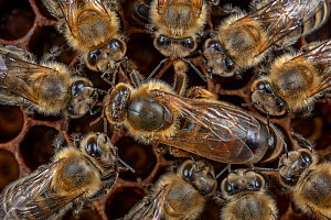 Honey bee (Apis mellifera), queen surrounded by her court, laying eggs in the broodcomb, Germany.  -  Ingo Arndt