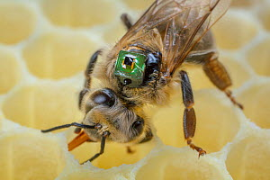 Honey bee (Apis mellifera) with a microchip on the back. It is used by researchers for different experiments to mark the bees and identify them with a scanner, Germany.  -  Ingo Arndt