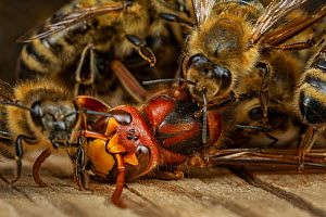 Honey bees (Apis mellifera) attacking a hornet (Vespa crabro). Honeybees survive a 1 degree Celsius higher body temperature than hornets. When they attack the hornet, they cover it, heat their own bod...  -  Ingo Arndt