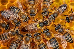 Honey bee (Apis mellifera macedonica), worker bees feeding queen on honeycomb, from Northern Greece, North Macedonia and other places in the Balkans (photo taken at LWG Wuerzburg, Germany).  -  Ingo Arndt