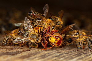 Honey bees (Apis mellifera) attacking a hornet (Vespa crabro). Honeybees survive a 1 degree Celsius higher body temperature than hornets. When they attack a hornet, they cover it, heat their own bodie...  -  Ingo Arndt