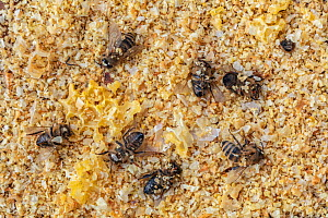 Dead Honey bees (Apis mellifera) on the nest hive floor after being attacked and robbed by other Honey bees, Germany.  -  Ingo Arndt