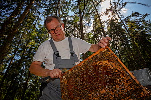 Honey bee (Apis mellifera), beekeeper Christoph Koch checking his beehives in the forest, Germany. June.  -  Ingo Arndt