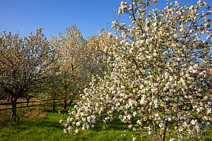Sweet Cherry (Prunus avium) trees flowering in spring, Germany. April.  -  Ingo Arndt