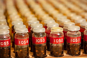 Honey bee (Apis mellifera), collection of specimens of different honey bee breeds in labelled bottles, Bee Institute Oberursel, Germany.  -  Ingo Arndt