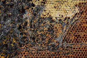 Unoccupied or empty Honey bee (Apis mellifera) combs infested by Lesser wax moth (Achroia grisella) larvae which leave behind silk tunnels and frass as they move through and feed on the honeycomb, Ger...  -  Ingo Arndt